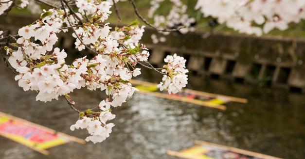愛知県行政書士会 尾北支部 岩倉市 五条川の桜