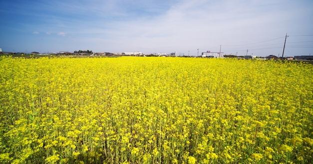 愛知県行政書士会 尾北支部 大口町 菜の花畑